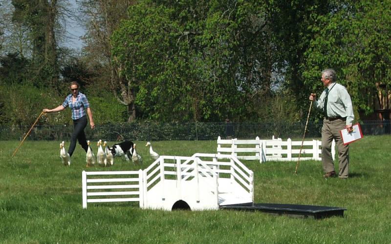 duck-herding-1000-625-2