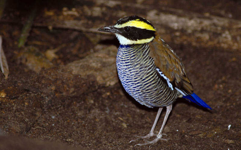 banded-pitta_2000x1250