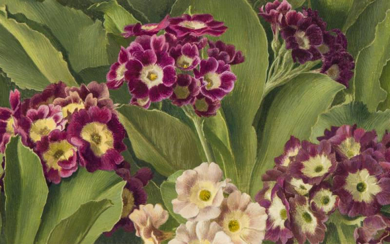 Painting of auricula flowers