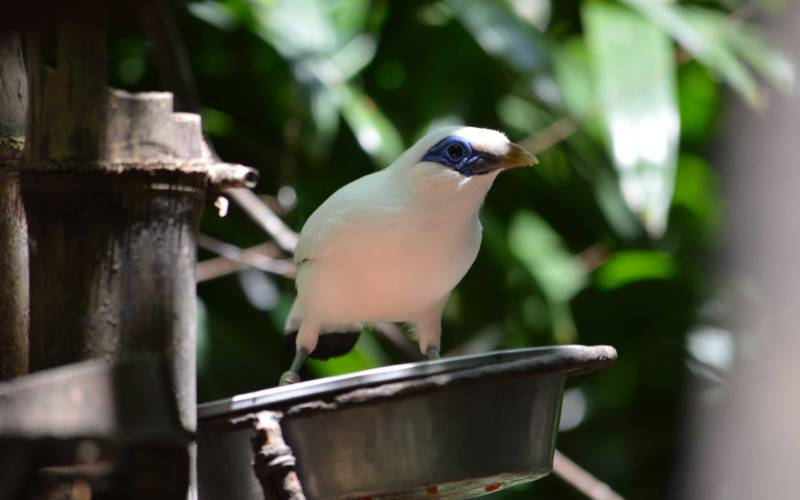 White Mynah bird on a perch