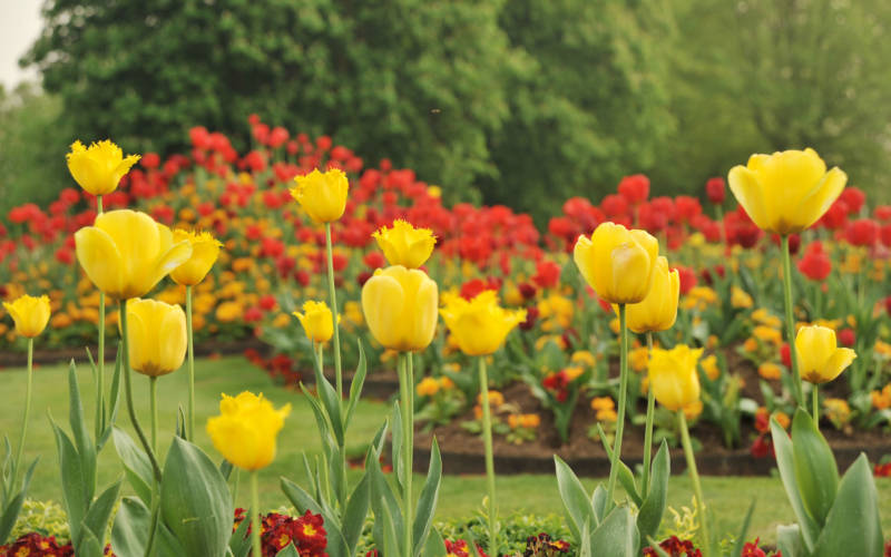 Yellow spring tulips on the parterre