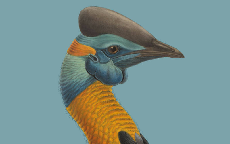 cassowary-blue-back-3000-1875