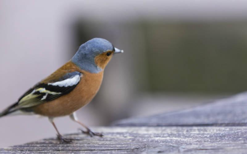 chaffinch-bird-rspb-big-garden-birdwatch-ntimages-Chris-Lacey-3000-1875