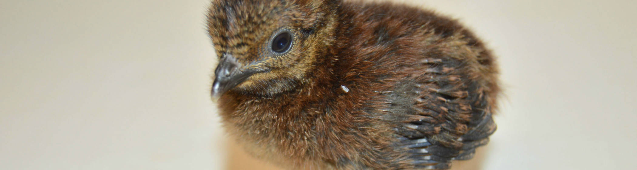 Rothschild peacock-pheasant chick at Waddesdon Manor
