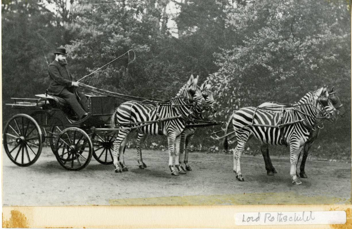 Archive photogrpah of Walter Rothschild with his carriage drawn by zebras