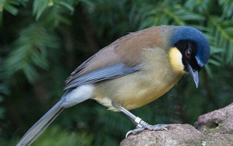 blue-crowned-laughing-thrush-1000-625