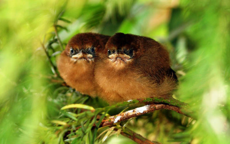 moustached-laughinghthrush-chicks
