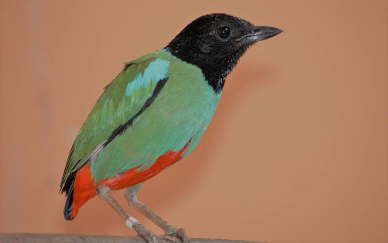 male-hooded-pitta-3000-1875