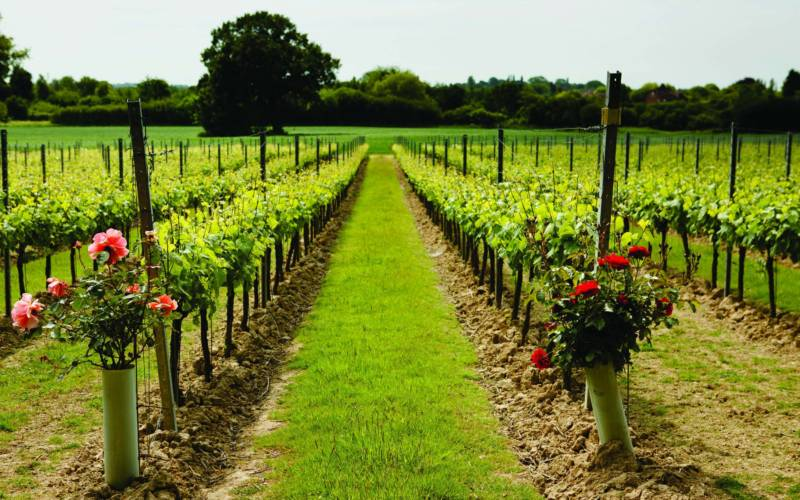Gusbourne Estate Vineyard