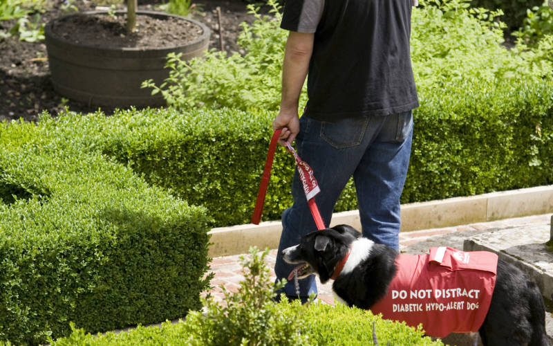 A working assistance dog