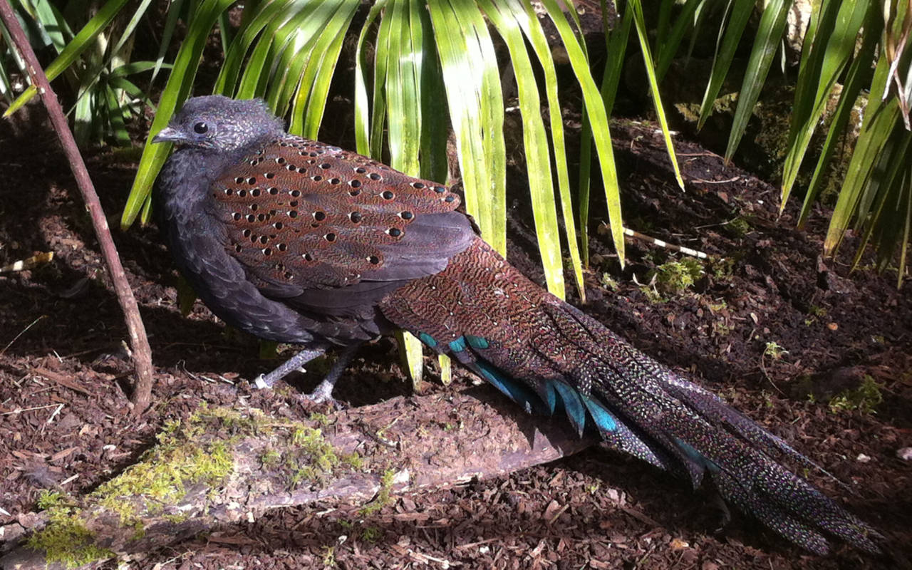A Rothschild's peacock pheasant bird