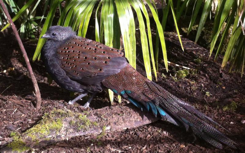 aviary-rothschilds-peacock-pheasant