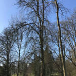 The common horse chestnut is one of the trees most frequently planted at Waddesdon and in Buckinghamshire generally.
