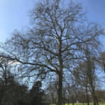The London plane is one of the most common and recognisable urban and parkland trees in cities worldwide.