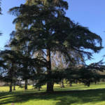 With its distinctive layered shape and foliage, the cedar of Lebanon is a splendid tree.