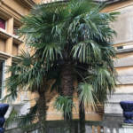 Fan Palms can grow to 15m in height and in spring, large flower panicles appear from the leaves and can be up to 1 m long.
