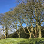 Sycamore is the largest species of maple. It is strong-wooded and tolerant of high winds, making it an ideal windbreak.