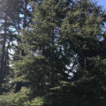 Atlas cedar is similar in appearance to the cedar of Lebanon, but without the grand horizontal branches that give that species its layered silhouette.