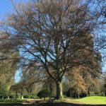A mature Common beech is a splendid tree with an imposing presence.
