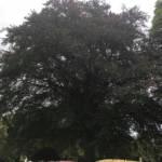 Common beech in summer