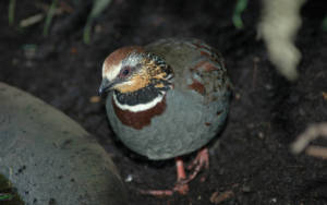 Collared hill partridge