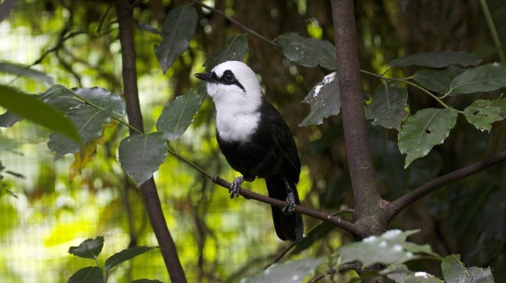 Black and White Laughingthrush, in the Aviary