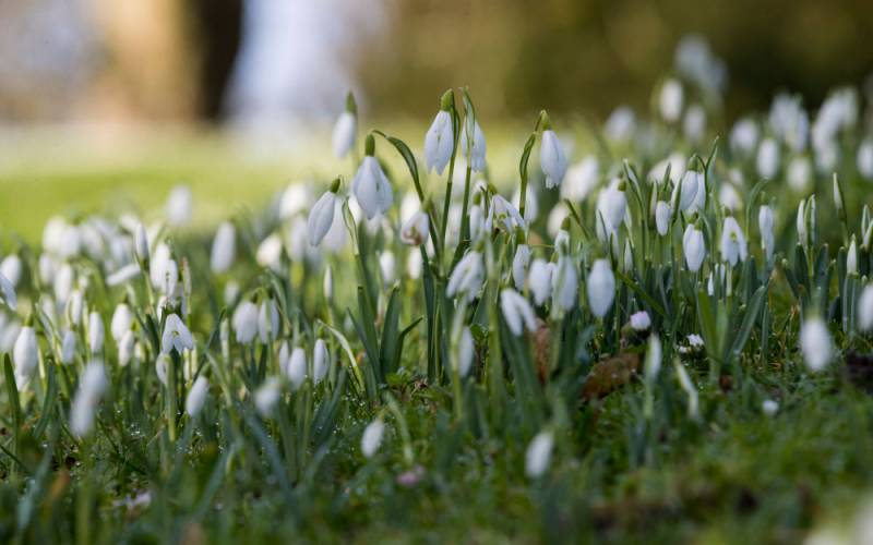 winter-snowdrops-1000-625-chris-lacey