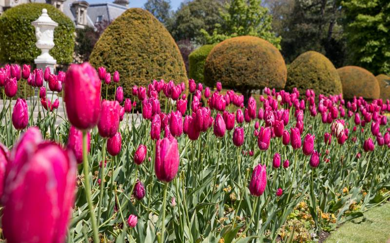 Pink tulips on the parterre