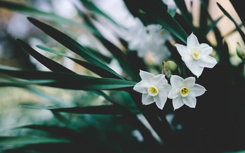 Scented white daffodils