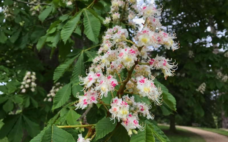 Flowers on a horse chestnut tree in waddesdon gardens