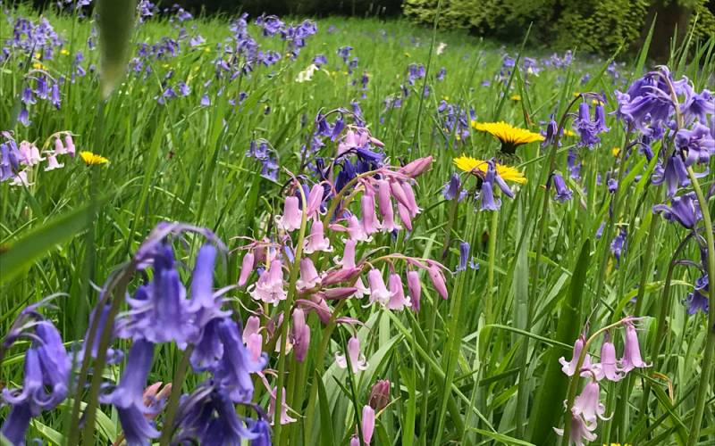 Bluebells and cowslips in the garden near tay bridge