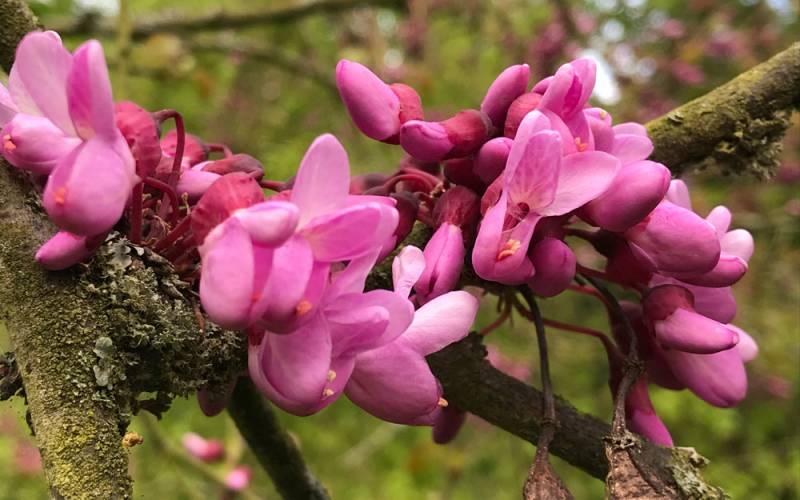 Bright pink flower on a judas tree in the waddesdon garden