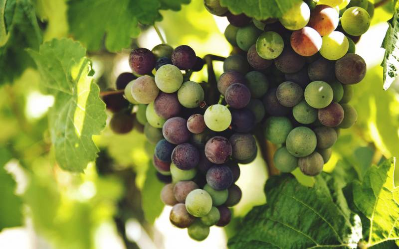 A bunch of ripening grapes on the vine