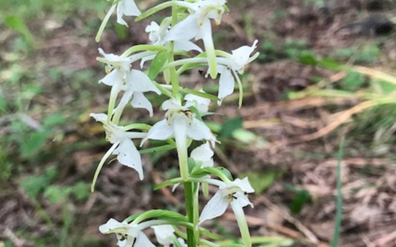 Image of a butterfly orchid