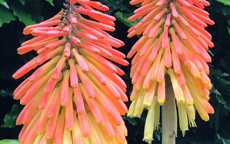Image of flowering Red Hot Pokers