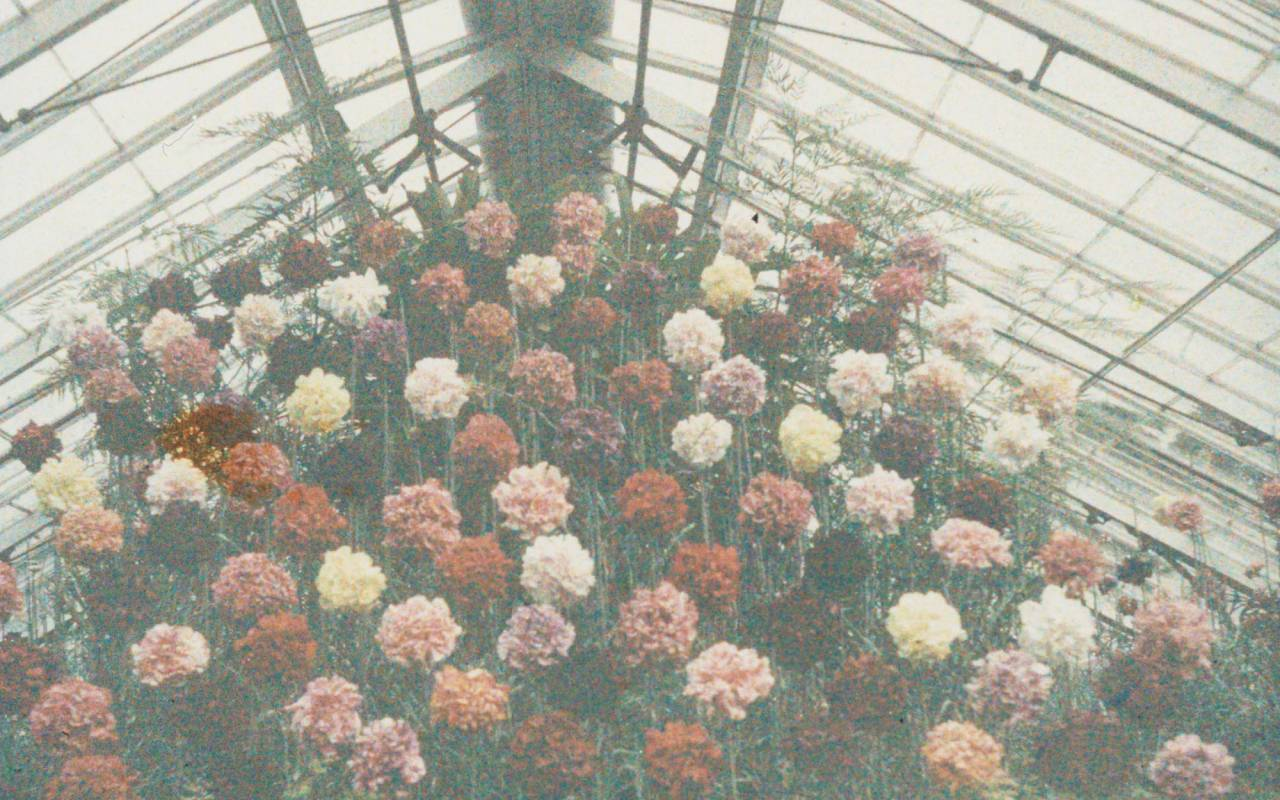 An early colour image (c.1910) of a glasshouse display of heavily scented Malmaison carnations
