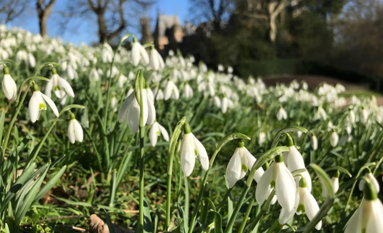 Snowdrops at Waddesdon