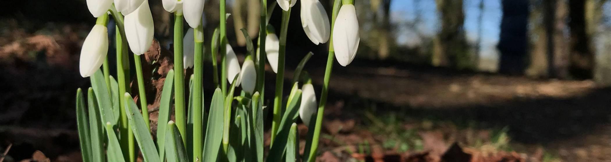 Snowdrops on Baron's Walk at Waddesdon