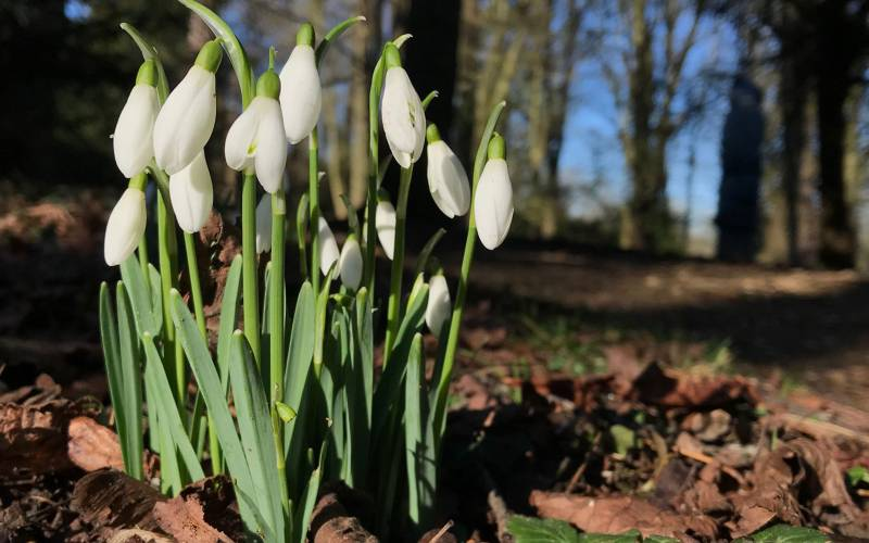 Snowdrops: did you know?