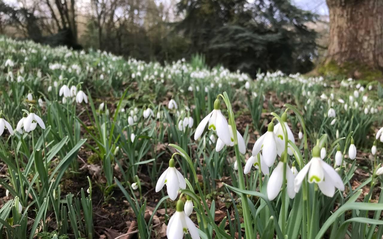 Snowdrops at Tulip Patch at Waddesdon