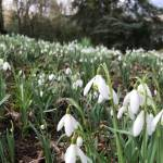 Where to spot snowdrops in the gardens