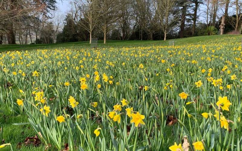 The daffodils are Narcissus 'Rijnveld's Early Sensation' which are part of our new bulb displays in the Upper Deer Pen near the Rose Garden. These were machine planted during the autumn of 2019.