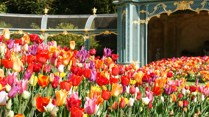 Close up of tulips in Aviary Garden