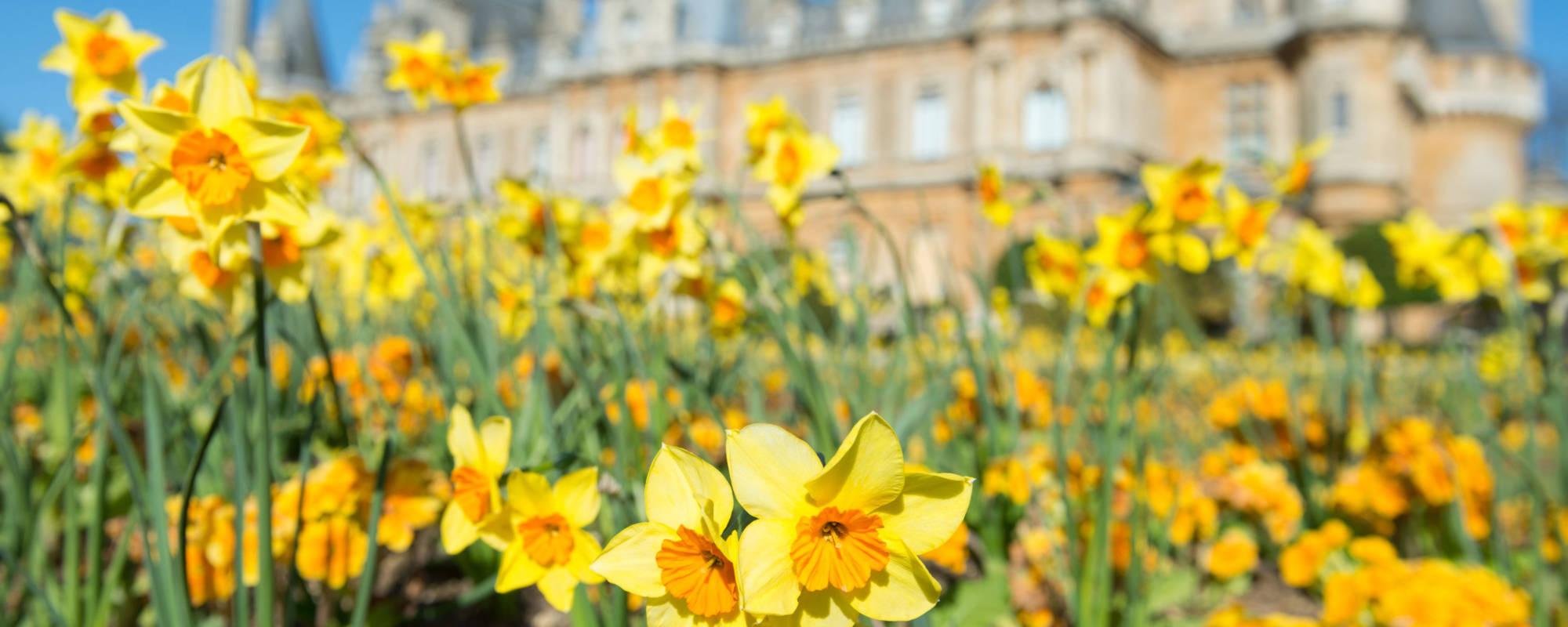 Daffodils at Waddesdon Manor